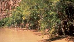 Tamarisk along the Colorado River