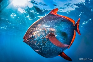 Opah (Courtesy of NOAA)
