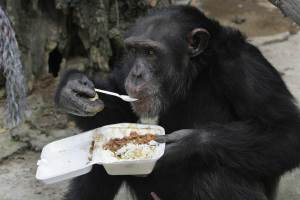 Chimp eating lunch.  Image courtesy of nbcnews.com.